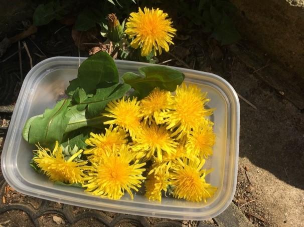 Picked dandelions